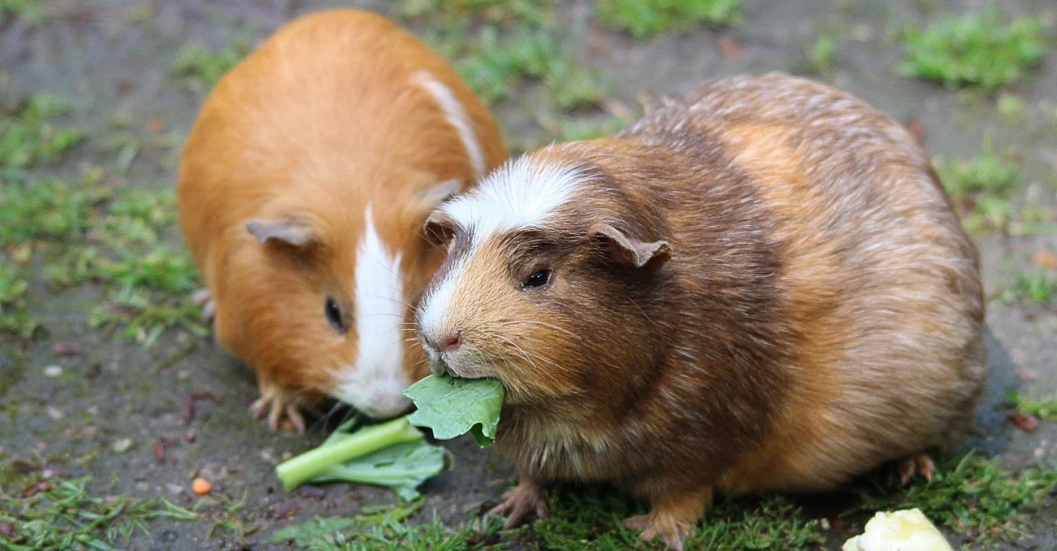 You can now buy tiny Halloween costumes for your pet guinea pig