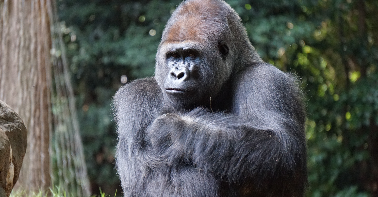Gorilla tries to help injured bird after it fell in its enclosure