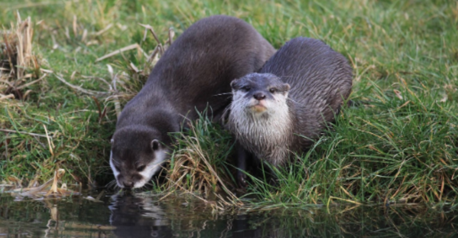 Two lonely otters who fell in love online after losing their partners have moved in together